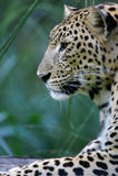 Afrikaanse Luipaard Royalty-vrije Stock Afbeeldingen