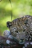 Afrikaanse Luipaard Royalty-vrije Stock Foto