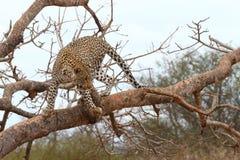 Afrikaanse Luipaard Stock Foto