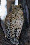 Afrikaanse luipaard in boom Stock Afbeelding