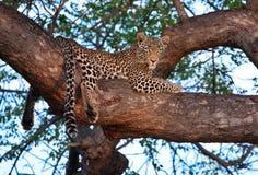 Afrikaanse luipaard in boom Stock Foto