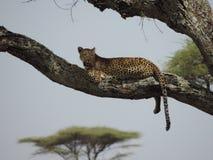 Afrikaanse luipaard in boom in het Nationale Park van Serengeti, Tanzania royalty-vrije stock afbeelding