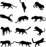 Afrikaanse luipaard en Aziatische luipaard Royalty-vrije Stock Afbeeldingen