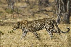 Afrikaanse luipaard (Panthera-parduspardus) Royalty-vrije Stock Afbeelding
