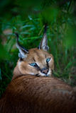Afrikaanse lynx of caracal Royalty-vrije Stock Foto's