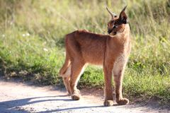 Afrikaanse lynx of caracal Stock Afbeeldingen