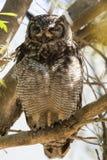 Afrikaanse Oehoe, Eagle-hibou repéré, africanus de Bubo images stock