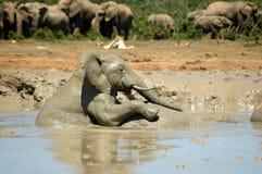 Afrikaanse Olifant Stock Foto