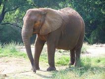 Afrikaanse Olifant Royalty-vrije Stock Afbeeldingen