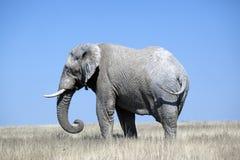 Afrikaanse olifant Stock Afbeeldingen