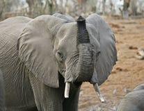 Afrikaanse Olifant #2 Stock Afbeeldingen