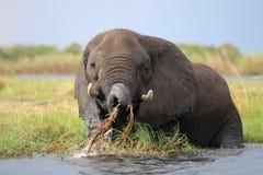 Afrikaanse Olifant royalty-vrije stock foto's