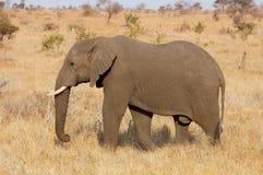 Afrikaanse Olifant Stock Fotografie
