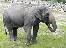 Afrikaanse olifant 1 Stock Afbeeldingen