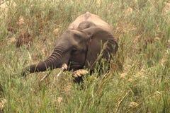 Afrikaanse Olifant Stock Foto's