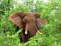 Afrikaanse Olifant Stock Afbeelding