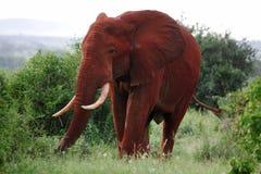 Afrikaanse Olifant Royalty-vrije Stock Foto