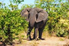 Afrikaanse Olifant (africana Loxodonta) Stock Foto