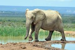 Afrikaanse Olifant in Afrika Stock Fotografie