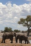 Afrikaanse Olifant, Afrykański słoń, Loxodonta africana obrazy royalty free