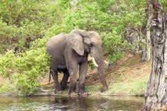 Afrikaanse Olifant bij de rivier Stock Foto