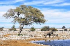 Afrikaanse olifant bij waterpool in het Nationale Park van Etosha, Namibië Stock Afbeeldingen