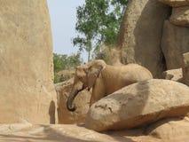 Afrikaanse olifant, Bioparc Valencia Stock Afbeeldingen