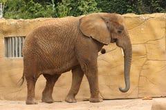 Afrikaanse olifant in de dierentuin in Dvur Kralove Stock Afbeeldingen