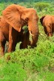 Afrikaanse Olifant in de wildernis Royalty-vrije Stock Foto's