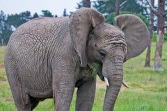 Afrikaanse olifant die gras eet Stock Fotografie