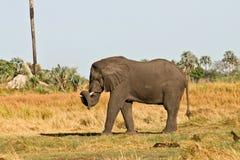 Afrikaanse Olifant die haar boomstam draagt Stock Foto's