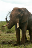 Afrikaanse Olifant die Mub bespuit Royalty-vrije Stock Foto's