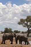 Afrikaanse Olifant, elefante africano, africana do Loxodonta imagens de stock royalty free