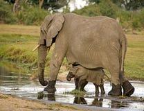 Afrikaanse Olifant en Baby Stock Fotografie
