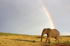 Afrikaanse olifant en regenboog in Zuid-Afrika stock afbeeldingen