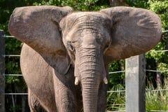 Afrikaanse Olifant in gevangenschap die groot oor uitrekt stock foto's