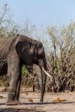 Afrikaanse Olifant in het Nationale Park van Chobe Royalty-vrije Stock Afbeeldingen