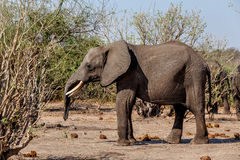 Afrikaanse Olifant in het Nationale Park van Chobe Stock Fotografie
