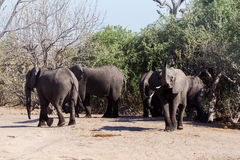 Afrikaanse Olifant in het Nationale Park van Chobe Royalty-vrije Stock Fotografie