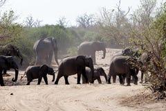 Afrikaanse Olifant in het Nationale Park van Chobe Stock Foto