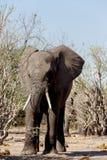 Afrikaanse Olifant in het Nationale Park van Chobe Royalty-vrije Stock Afbeelding