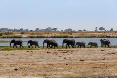 Afrikaanse Olifant in het Nationale Park van Chobe Stock Foto's