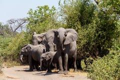 Afrikaanse Olifant in het Nationale Park van Chobe Stock Afbeeldingen