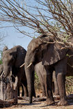 Afrikaanse Olifant in het Nationale Park van Chobe Royalty-vrije Stock Foto