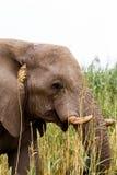 Afrikaanse Olifant in het nationale Park van Etosha Stock Afbeeldingen