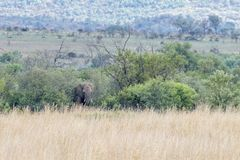 Afrikaanse olifant: Loxodonta royalty-vrije stock afbeelding