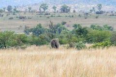 Afrikaanse olifant: Loxodonta stock foto's