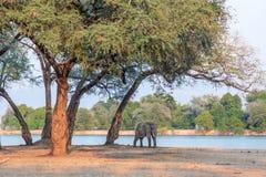 Afrikaanse Olifant (Loxodonta) Royalty-vrije Stock Foto's