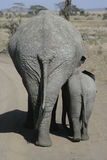 Afrikaanse olifant, Loxodonta-africana Royalty-vrije Stock Foto