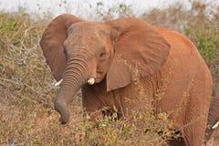 Afrikaanse olifant, Loxodonta-africana Royalty-vrije Stock Foto's